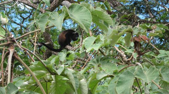 Villa Tortuga: Monkey