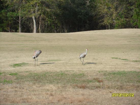 Hernando Oaks Golf and Country Club: Birds on the Fairway