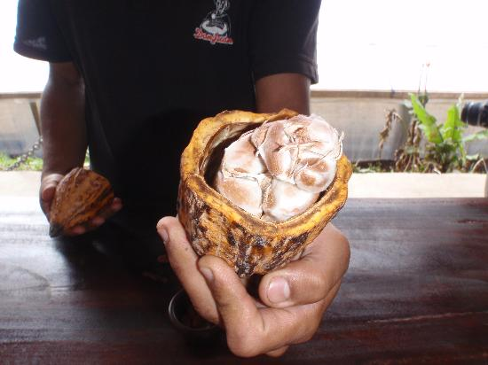 Don Juan Coffee Tour: Cocoa near the end of the tour