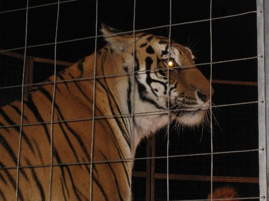 Big Cat Habitat and Gulf Coast Sanctuary: Up Close and Personal (not with a zoom lens)