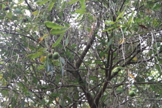 Hoolehua, HI: Purdy's Macadamia Farm