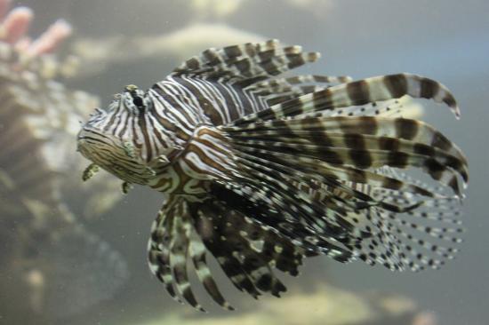 Greater Cleveland Aquarium: lion fish