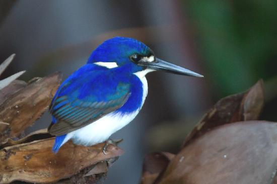 Daintree Boatman Nature Tours: Little Kingfisher