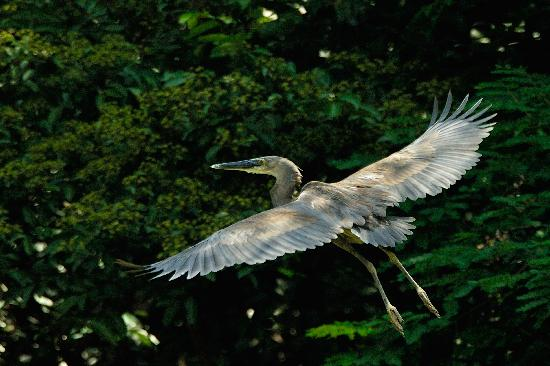 Daintree Boatman Nature Tours: Great-billed Heron