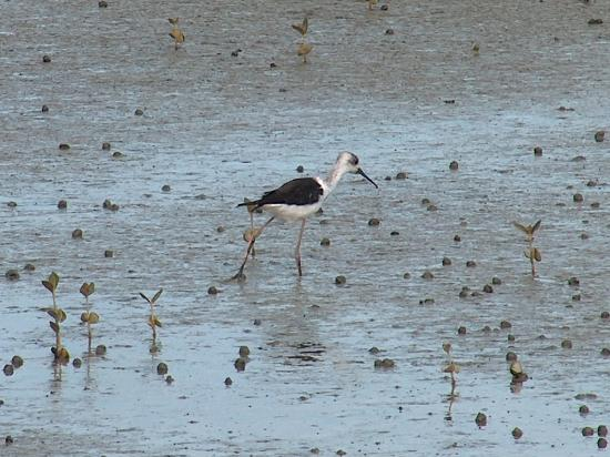 Miranda Shorebird Centre: Pied Stilt on the Miranda shoreline