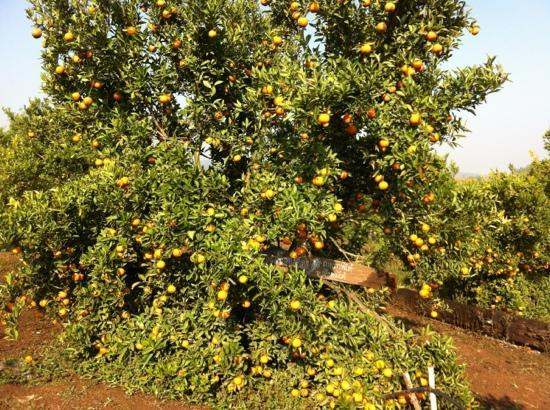 Phetchabun, Thaïlande : สวนส้มบนเขาค้อ