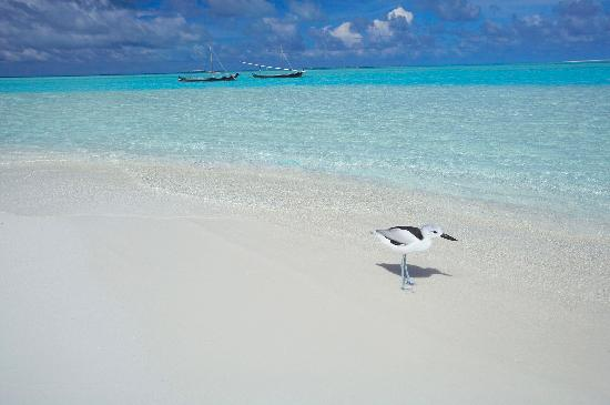 ‪‪Rihiveli by Castaway Hotels & Escapes‬: Juliet - our resident bird by the beach‬