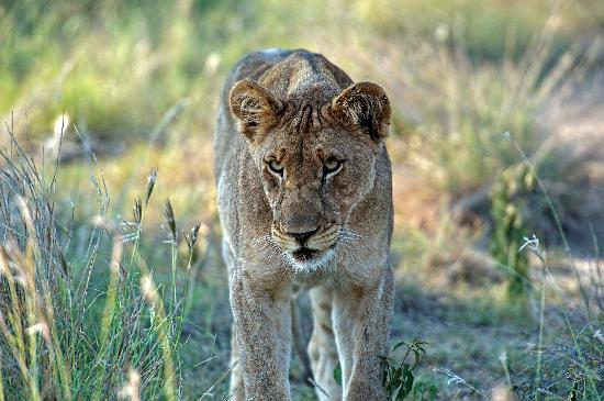 Impodimo Game Lodge : On the Prowl