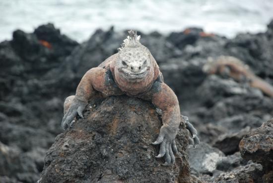 Galapagos Island Hotel - Casa Natura: IGUANA-ISLA SANTA CRUZ
