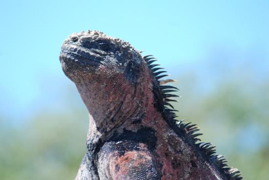 Galapagos Island Hotel - Casa Natura: WATER IGUANA-ISLA FLORIANA