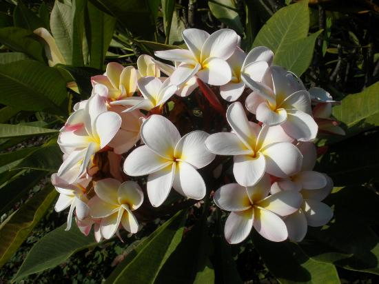 Polynesian Shores Condominiums: Plumeria bush
