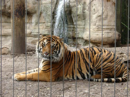 Cameron Park Zoo: Handsome Sumatran tiger