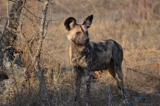 andBeyond Ngala Safari Lodge: Wild Dog