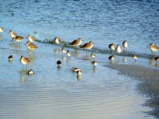Alfred McKethan / Pine Island Park: Sandpipers