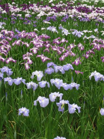 Banshu Yamasaki Hana Iris Garden : Iris closeup