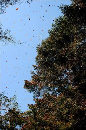 Piedra Herrada Sanctuary: Monarch Butterflies/ Mariposas Monarca.