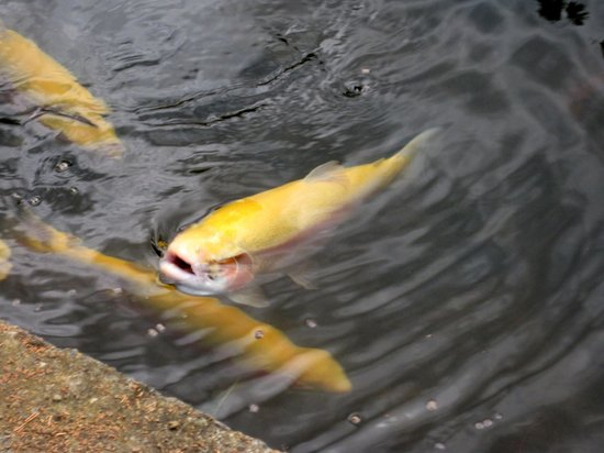 New Norfolk, Australia: albino trout