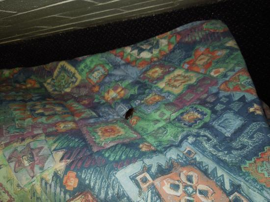 Maryborough, Australië: Cockroach in the bed