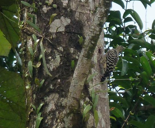 Lake Kenyir Resort: woody woodpecker