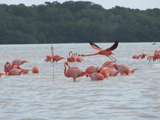 Progreso, Mexico: Flamingos at Celestun