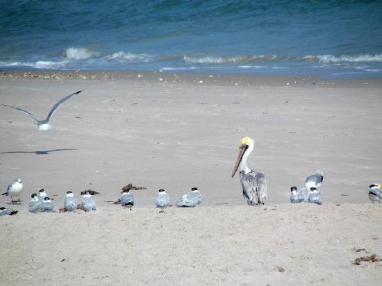 Canaveral National Seashore: Pelican, terns and gulls on the beach