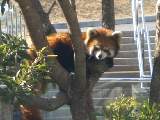 Oshima Park : レッサーパンダ