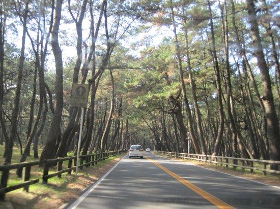 Karatsu, Japón: 松のトンネルをドライブ