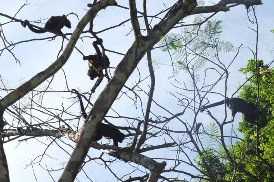 Alby Lodge: Morning visits from the Howler monkeys