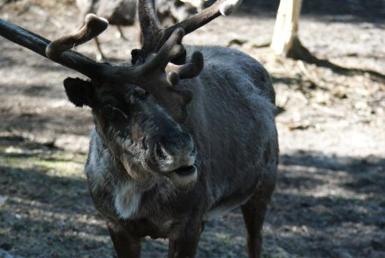 Agate Inn, Inc.: Reindeer