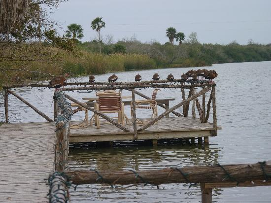 The Inn at Chachalaca Bend: Whistling Ducks perch on the dock on the resaca