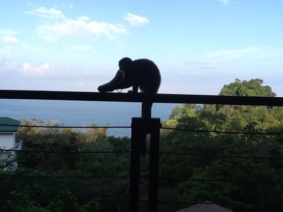 Tulemar Resort: spider monkey who stole my banana