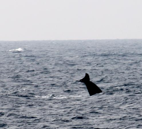 Sri Lanka Navy Whale Watching: One of the more active whales