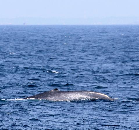 Sri Lanka Navy Whale Watching: Another sighting