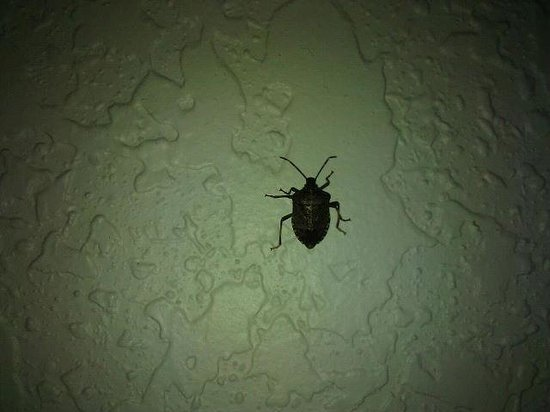 "Super 8 Hotel Zanesville : This is the ""waterbug"" that was running up our wall and possibly the one that ran across my hand"