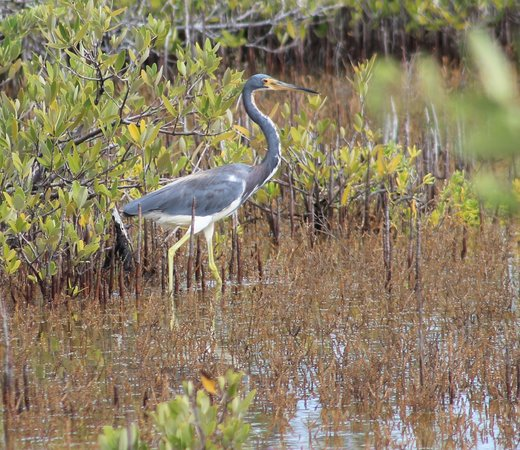 Key West Eco Tours: This photo of aTri Colored Heron was taken while on a Downwind Kayak Tour.