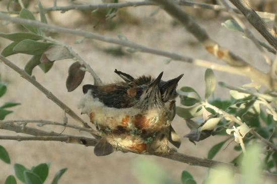 Carribean Club Bar and Restaurant: Baby Hummingbirds