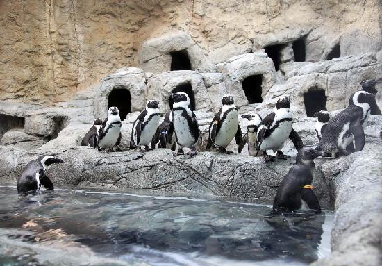 Ripley's Aquarium of the Smokies: African Black-Footed Penguins