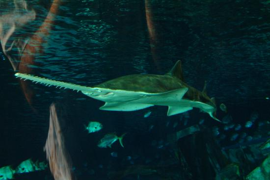 Ripley's Aquarium of the Smokies: Shark Lagoon Sawfish