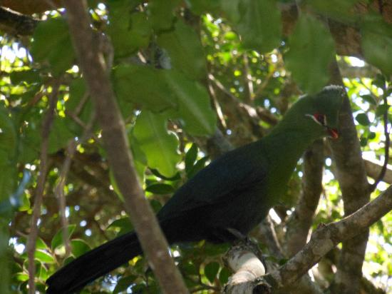 The Phantom Forest Eco-Reserve: Knysna Lorrie