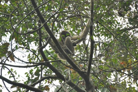 Jorhat, India: Female gibbon with baby