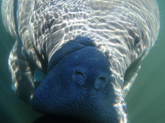 Air Tank Divers Manatee Tours : Up close and personal