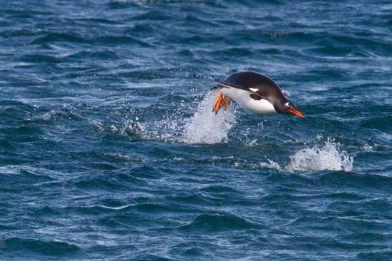 Sea Lion Lodge: Gentoo Penguin arriving in the evening