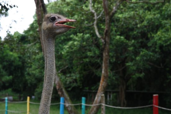Port Dickson, Malaysia: Ostrich