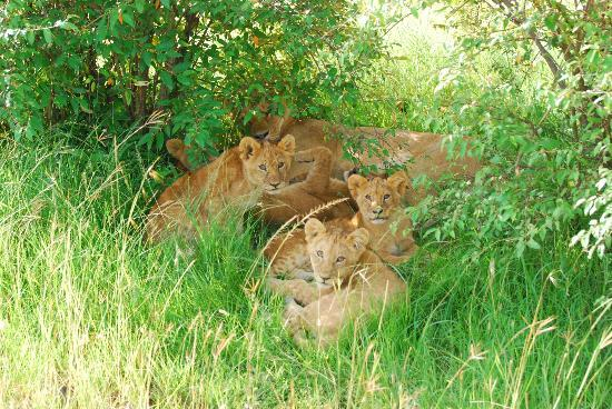 Bettykensafaris: Lions