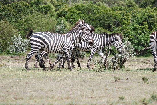 Bettykensafaris: Zebras
