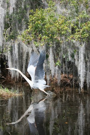 Folkston, GA: Blue Heron