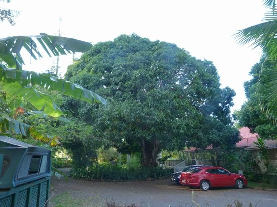Haiku Plantation Inn: Maui Bed and Breakfast: The 150 year old mango tree in front of the house.