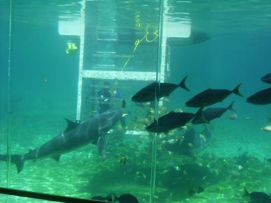 Sea world shark tank images galleries for Shark fish tank