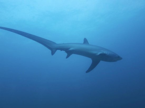 Sea Explorers Malapascua: Thresher shark