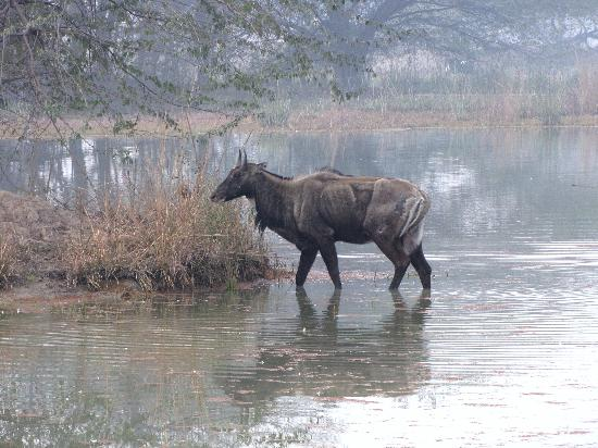 Sultanpur National Park Bird Sanctuary: Nilgai [ Blue bull ]